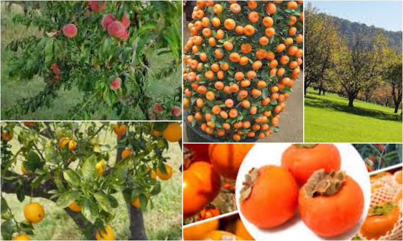Bahçeniz İçin Meyve Ağacı Seçimi ve Bakımı